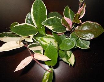 Hoya carnosa Assorted (3 Pack)