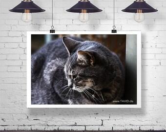 The Grey Cat - Auf LEINWAND, ACRYLGLAS oder POSTER bis 180x120cm. Das perfekte Wandbild für Ihre Wohnung. Katzen Fine Art Katzen Poster