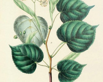 Lime - reproduction of an old botanical illustration