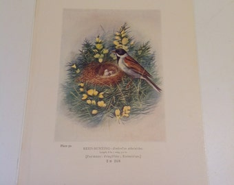 Reed Bunting Bird's Nest and Eggs, Plate 90