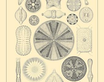 Kunstformen der Natur Art Print - Diatom Nature Art Print - Ernst Haeckel Scientific Art Print - Art Forms of Nature Wall Art Print