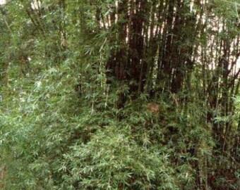 Bambusa lapidea - Horsehoof Bamboo - 3 seeds