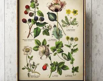 BOTANICAL POSTER, medicinal plants and flowers print, botanical print, botanical chart, Poppy, cinquefoil, blackberries, rose.