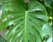 Live Plant Tropical Garden Large Philodendron Monstera Bohemian Easy Houseplant!
