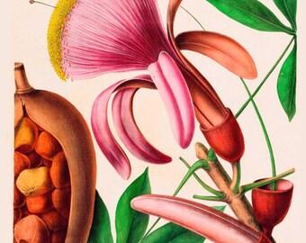 antique french botanical print chestnut flower and fruit illustration digital download
