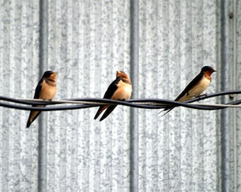Barn Swallows, The Trio, bird lovers, blank card, friendship, thinking of you, write own msg