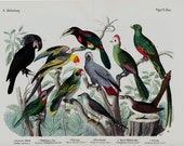 """1860 Rare Amazing Large antique EXOTIC BIRD SPECIES print, hand colored lithograph, parrot, tucan, 156 years old, size 17'' x 13"""" inches"""