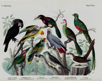 "1860 Rare Amazing Large antique EXOTIC BIRD SPECIES print, hand colored lithograph, parrot, tucan, 156 years old, size 17'' x 13"" inches"