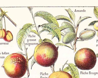 Antique French Print Book Page 1910s Colored Engraved iIlustration Fruits Nuts  Fruit paper projects scrapbooking, collage