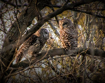 Two Barred Owls perched on a Tree Branch in West Michigan during Spring No.9261 Fine Art Wildlife Bird Nature Photograph