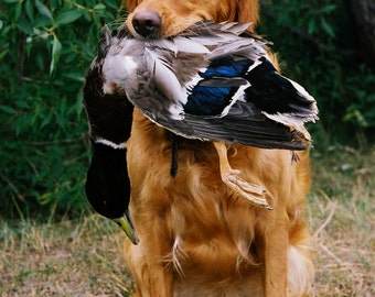 Golden Retriever Dog Holding Mallard Duck  Photograph Photo Wall Decor