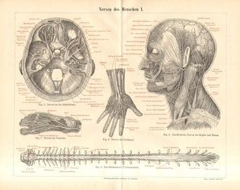 1890 Anatomy, Nervous System of the Human Body, Nerves of the Skullbase, Head, Neck, Spinal Cord, Palm, Sole Antique Engraving Print