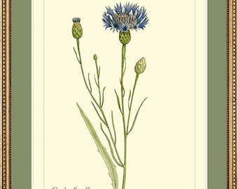 GARDEN CORNFLOWER - Vintage Botanical print reproduction 7