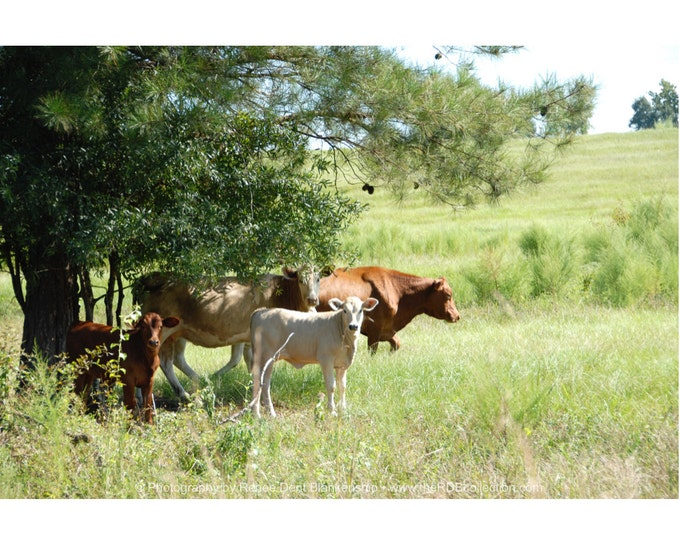 Bovine in a Southern Pasture Photograph