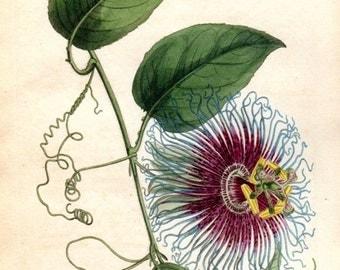 Vintage Botanical Print 1803 Passion Flower Curtis  Vintage Flower Plate 651