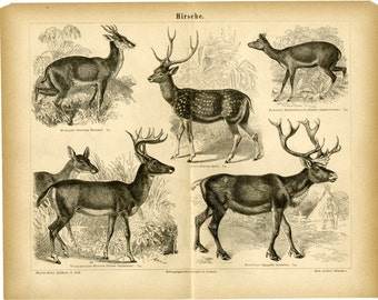 1876 Antique Deer Print - Antique Engraving - Reindeer, Arctic Deer - Christmas Gift