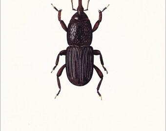 vintage beetle insect art print black Wheat Grain Weevil Calandra granaria home decor 8x10 inches