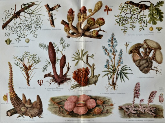 Parasitic plants print. Botany print.  Old book plate, 1904. Antique illustration. 111 years lithograph. 9'6 x 11'7 inches.