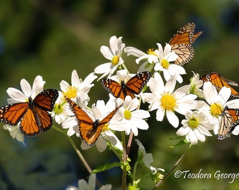 Monarch Butterflies Photography, WIldlife Photography, Nature Photography