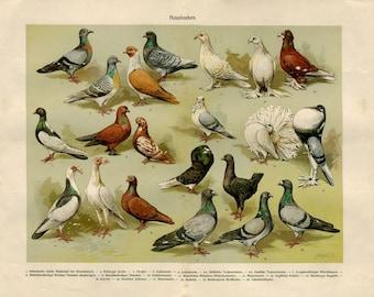 Vintage Print of Birds Pigeons Brehms Tierleben 1920s Color Lithograph