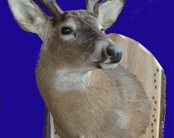 Deer Mount ~ Deer Shoulder Mount ~ Taxidermy Panels ~ Live Edge Wood ~ Deer Hunting Mounts ~ Deer Hunting ~ Deer Boards ~ Deer Panels ~ Deer