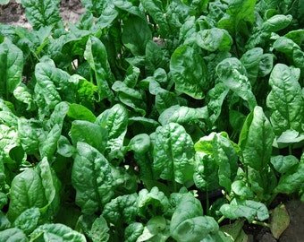 200+ Spinach Seeds- Organic- Giant Noble- Heirloom Variety
