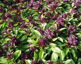 Siam Queen Basil - 30 seeds (Organic/non-GMO)