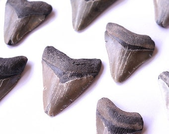 Fossilized Megalodon Shark Teeth 1.5-2"