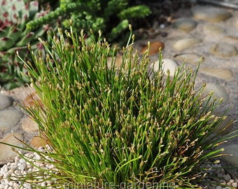 Eleocharis radicans, Toe Tickling Grass, Miniature Rush for Miniature Garden, Fairy Garden