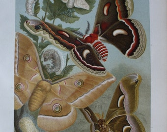 old print silk worm butterfly 1895