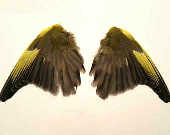 Real stuffed greenfinch wings curiosity tropical feathers mounted taxidermy green bird