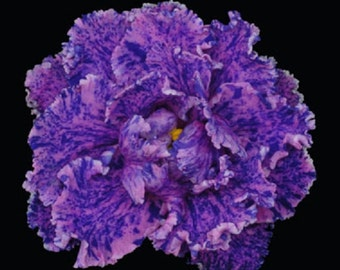 African violet Midnight Waterfall Fully Grown Free Shipping!!
