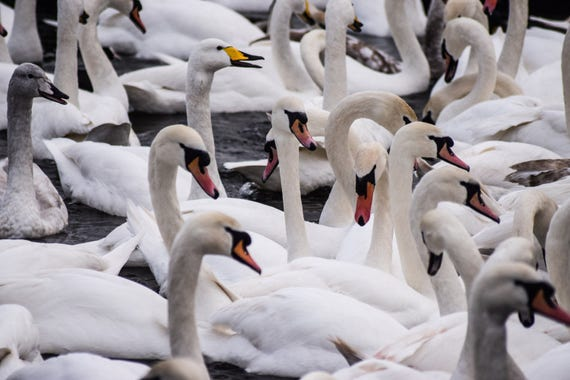 Swan Gathering, Icelandic Swans, Swan Photography, Wall Art, Wildlife Photography, swan art, swan decor, swan print, pond photography, Art