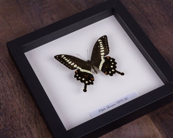 The Central Emperor Swallowtail Butterfly in Black Wooden Frame | Papilio Lormieri | Real Framed Butterfly | Taxidermy