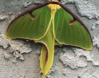 Original Photography Luna Moth Photo Green Moth Nature Photo Bug Photo Insect Photo Home Decor Outdoor Photo Housewarming Father's Day Gift