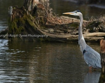 Great Blue Heron #8405