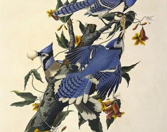 Birds of America by John James Audubon,  Blue Jay Drawing,c. 1827,  Museum quality, Giclee Art Print