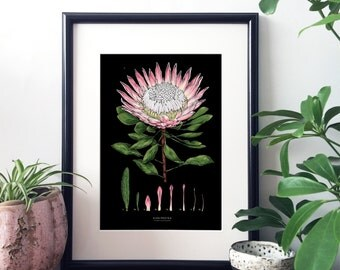 Botanical Illustration A4 Giclee Print - King Protea