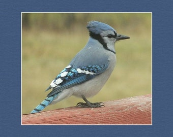 Gorgeous Bluejay - matted print