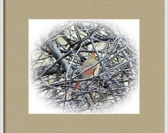 Female Cardinal - Framed Print