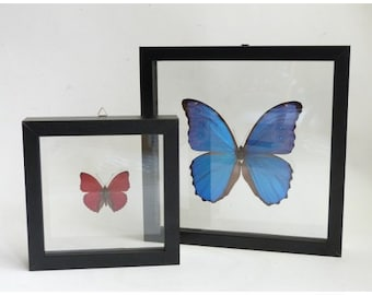 2 mounted butterflies in double glass frame for sale - Double Glass Frame