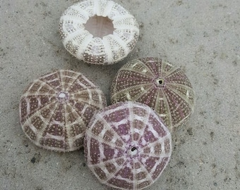 Alfonso sea urchin for Air plants beach decor wedding decor