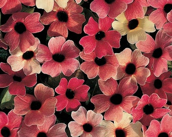 Black-eyed Susan 'Blushing Susie' Seeds / Thunbergia alata