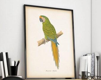 Vintage parrot print, Bird illustration, Antique bird print, Parrot art, Bird wall art, Wall art print, Instant download 8x10, 11x14 print