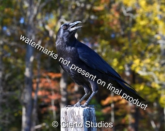 Crow, Cades Cove, Great Smoky Mountains - digital download