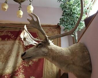 Mounted Caribou Trophy, Albino Caribou, Large Mounted Caribou