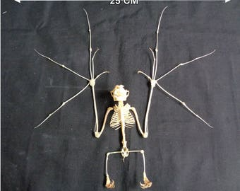 Taxidermy: Cynopterus brachyotis skeleton spread