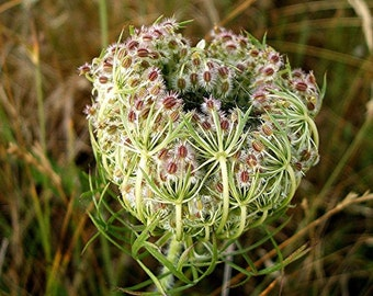 Wild carrot - dried seeds