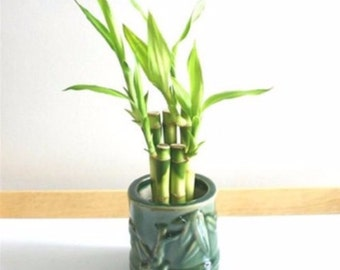 Lucky Bamboo! in vace