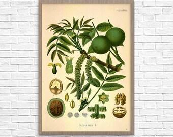 Botanical Art Print Walnut, Vintage Botanical Home Decor, Walnut Poster, Kitchen Poster, Kitchen Illustration 1887, Giclee Print